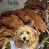 Хятадад нохойг ингэж төхөөрдөг
