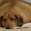 Дэлхийн хамгийн тарган нохойнууд